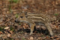 Wild boar piglet in the forest, spring. Sus scrofa royalty free stock photography