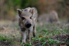 Wild boar piglet in the forest, spring. Sus scrofa royalty free stock photo