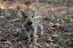 Wild boar piglet in the forest, spring. Sus scrofa stock photography