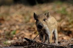 Wild boar piglet in the forest, spring. Sus scrofa royalty free stock images