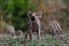 Wild boar piglet in the forest. Spring,  sus scrofa Royalty Free Stock Photography