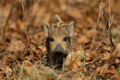Wild boar piglet in the forest. Spring,  sus scrofa Stock Photography