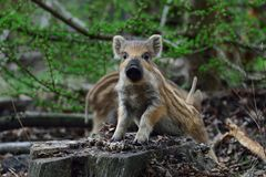 Wild boar piglet look curious. Spring, sus scrofa Stock Images