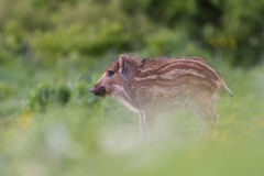 Wild boar piglet Royalty Free Stock Photography