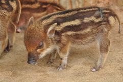 Wild boar piglet Royalty Free Stock Image