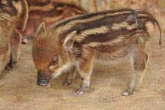 Wild boar piglet Royalty Free Stock Image