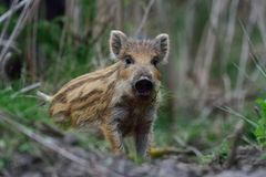 Wild boar piglet standing in the forest and look, spring Stock Photos