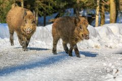Wild boar piglet rinning in the snow in winter,. Wild boar piglet Sus scrofa running in the snow in winter, Germany, Europe royalty free stock photo