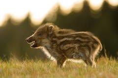 The Wild Boar piglet, sus scrofa royalty free stock photos