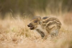 The Wild Boar piglet, sus scrofa stock image