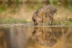 The Wild Boar piglet, sus scrofa is standing in the shoreline of a pond stock photos