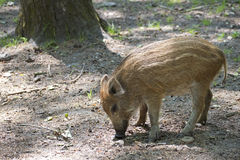 Wild boar piglet Stock Images