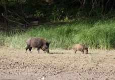 Wild boar and piglet Royalty Free Stock Photo