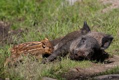 Wild boar and piglets Royalty Free Stock Photo