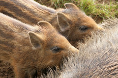 Wild boar piglets Stock Photos