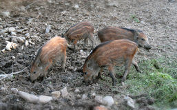 Wild boar - piglets. The photograph of small piglets (the wild boar Stock Images