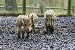 Wild boar piglets Royalty Free Stock Photography