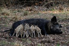 Wild boar piglets drink milk from her mother, spring. Sus scrofa Stock Photo