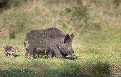 Wild boar with piglets in forest Stock Photography