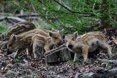 Wild boar piglets in the forest, spring. Sus scrofa Royalty Free Stock Image