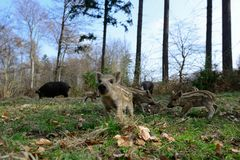 Wild boar piglets in the forest. Spring,  sus scrofa Stock Images