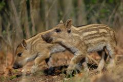 Wild boar piglets in the forest. Spring, sus scrofa Royalty Free Stock Photos