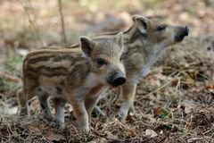 Wild boar piglets in the forest. Spring, sus scrofa Stock Photos