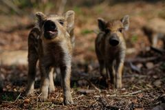 Wild boar piglets  in the forest, spring. Sus scrofa Stock Image