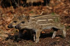 Wild boar piglets  in the forest, spring. Wild boar piglets in the forest, spring, sus scrofa Royalty Free Stock Image