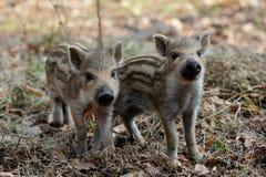Wild boar piglets in the forest, spring. Wild boar piglets  in the forest, spring,  sus scrofa Stock Image