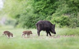 Wild boar with piglets in forest Royalty Free Stock Photo