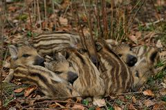 Wild boar piglets sleep together, spring. Sus scrofa Stock Photography