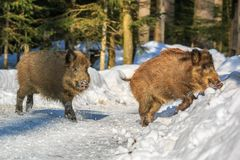 Wild boar piglets rinning in the snow in winter,. Wild boar piglets Sus scrofa running in the snow in winter, Germany, Europe Stock Photos