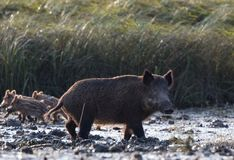 Wild boar with piglets Stock Images