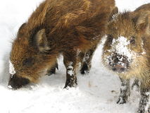 Wild Boar Piglets In Winter. Two wild boar piglets foraging in the snow Stock Photos