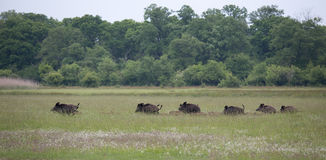 Wild boar with pilets running on meadow Stock Images