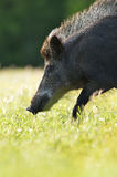 Wild boar portrait Royalty Free Stock Photography