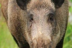 Wild boar portrait Royalty Free Stock Photography