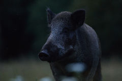 Wild boar portrait Stock Image
