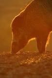 Wild boar portrait in orange sunset Stock Images