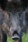 Wild boar portrait Royalty Free Stock Images