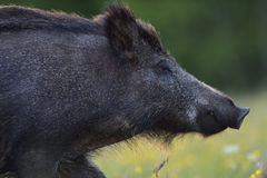 Wild boar portrait. In summer royalty free stock images