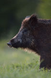 Wild boar portrait Royalty Free Stock Photos