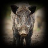 Wild boar portrait with vignette Stock Images