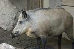 Wild Boar Profile. Wild Boar or Sus scrofa animal in mud surrounded by rocks stock photography