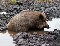 Wild Boar In puddle. Young wild boar in puddle. Zoo. Belarus Royalty Free Stock Photos