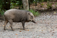 Wild Boar at Pulau Ubin Island Royalty Free Stock Photo