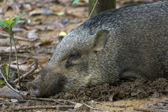 Wild Boar of Pulau Ubin Royalty Free Stock Image
