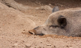 A wild boar is resting. In the sand Stock Images