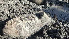 Wild boar resting in mud stock video footage